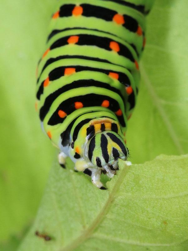アゲハチョウ 幼虫